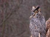 Great Horned Owl Copyspace — Stock Photo