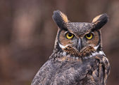 Great Horned Owl Ears — 图库照片
