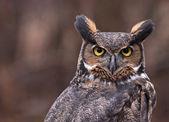 Great horned owl oren — Stockfoto