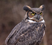Great Horned Owl Profile — Stockfoto