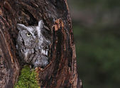 Screech Owl in Stump — Stock Photo