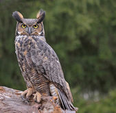 Great Horned Owl in the Rain — Zdjęcie stockowe