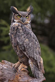 Great Horned Owl Stare — Stock Photo