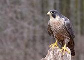 Perched Peregrine Falcon — Stock Photo