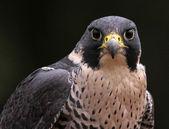 Staring Peregrine Falcon — Stock Photo