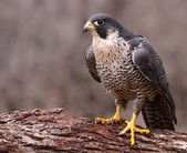 Angry Peregrine Falcon — Stock Photo