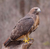 Gestelde red - tailed hawk — Stockfoto