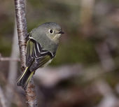 Female Ruby-crowned Kinglet — Stock Photo