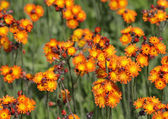 Orange Hawkweed Patch — Stock Photo