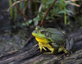 American Bullfrog sitting on a Log — Stock Photo