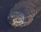 Snapping Turtle Face — Stock Photo