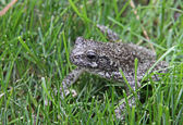 Gray Treefrog in the Grass — Stock Photo