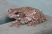 Grey Tree Frog — Stock Photo