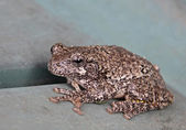 Resting Gray Tree Frog — Stock Photo