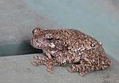 Resting Gray Tree Frog — Stock Photo