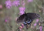 Eastern Black Swallowtail with Copyspace — Stock Photo