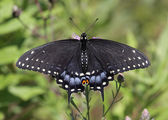 Female Eastern Black Swallowtail Ventral View — Stock Photo