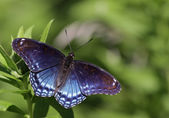 Faded Red-spotted Purple Butterfly — Stock Photo