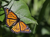 Viceroy Butterfly — Stock Photo