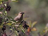 Cedar Waxwing Eating Nannyberry Fruit — Stock Photo