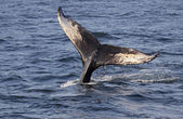 Cauda de baleia jubarte — Fotografia Stock