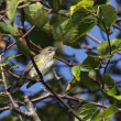 Perched Yellow-rumped Warbler — Stock Photo