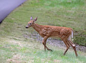 Fawn Approaching the Road — Stock Photo
