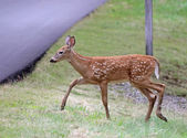 Tip Toeing Fawn — Stock Photo