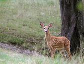 子鹿を見つめてください。 — ストック写真