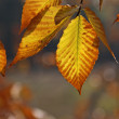 Back lit Beech Tree Leaves — Stock Photo