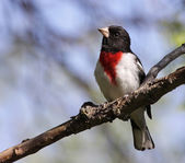 Inquiring Rose-Breasted Grosbeak — Stock Photo