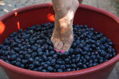 Female feet crushing grapes to make wine — Stock Photo
