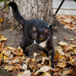A cat on a leash playing in fall dry leaves - Stock Photo