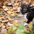 A cat on a leash playing in fall dry leaves — 图库照片