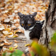 A cat on a leash playing in fall dry leaves - ストック写真