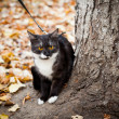 A cat on a leash playing in fall dry leaves — Stock Photo