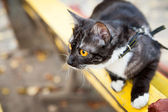 A cat on a leash playing on the wooden bench — Stock Photo