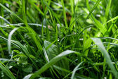 Drops on green sping grass — Stock Photo