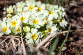White Spiraea (Meadowsweet) flowers early spring — Stock Photo