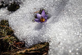 Crocus and snow in spring — Stock Photo