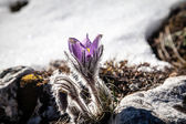 Pulsatilla vernalis in spring — Stock Photo