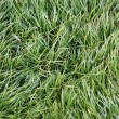 Grass Background — Stock Photo #13356689