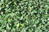 Green Shrub Background — Stock Photo