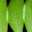 Ash Tree Leaves — Stock Photo