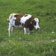 Stock Photo: Spotted cow 01