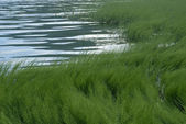 Sea grass 02 — Stock Photo