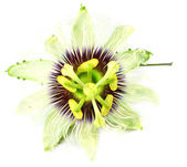 Macro of a Passion flower — Stock Photo