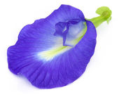 Clitoria ternatea or Aparajita flower of Indian subcontinent — Stock Photo