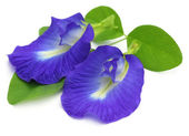 Clitoria ternatea or Aparajita flower — Stock Photo