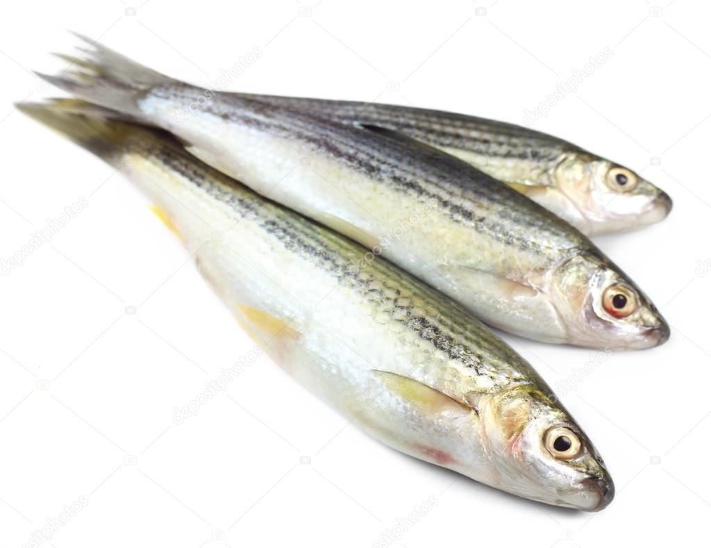 Indian salmon fish - photo#25